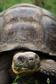 Galapagos Turtle. — Stock Photo