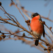 Stock Photo: Bullfinch.
