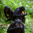 Chimpanzee Bonobo. — Stock Photo