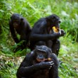 Stock Photo: Chimpanzee Bonobo.