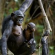 Chimpanzee Bonobo with a cub. — Stock Photo