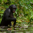 The chimpanzee collects flowers. 2 — Stock Photo #3785108