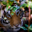 Portrait of tiger in bushes. — Stock Photo #3785189