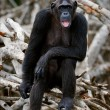 Portrait of the adult female of a chimpanzee. — Stock Photo #3785970