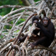 Chimpanzee on mangrove branches. — Stock Photo