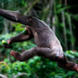 The chimpanzee escapes. - Stock Photo