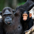 Chimpanzee with a cub on mangrove branches. - Stock Photo