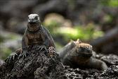 The marine iguana poses. 2 — Stock Photo