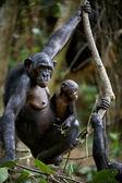 Chimpanzee Bonobo with a cub. — Stock Photo