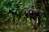 Bonobo on a branch which is sticking out of water. — Stock Photo