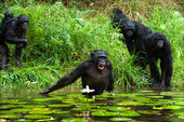The chimpanzee collects flowers. 3 — Stock Photo
