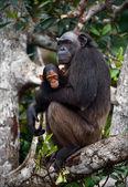 Schimpans med en unge på mangrove grenar. — Stockfoto