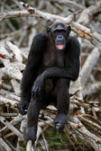 Portrait of the adult female of a chimpanzee. — Stock Photo