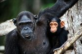 Chimpanzee with a cub on mangrove branches. — Stock Photo