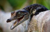 Cub of a crocodile. — Stock Photo