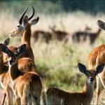 Group of antelopes the impala. — Stock Photo