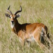 Antelope  impala. - Stock Photo
