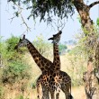 Two giraffes under a tree. — Stock Photo