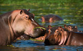 Hippopotamus in a bog. — Stock Photo