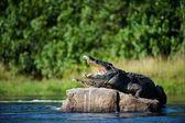 Nil timsahı — Stok fotoğraf