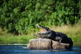 Nile crocodile. — Foto Stock