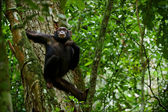Chimpanzee on a tree. — Stock Photo