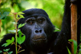 Portrait of a mountain gorilla at a short distance. — Stock Photo