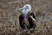 Baby bird of a frigate on a nest. — Stock Photo