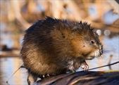 The muskrat (Ondatra zibethicus). — Stock Photo