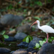 White Ibis. — Stock Photo #3832304