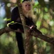 The Capuchin on a branch. — Stock Photo
