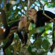 Stock Photo: Two Capuchins.