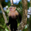 The Capuchin on a tree. - Photo
