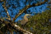 The Bare-throated Tiger Heron. — Stock Photo