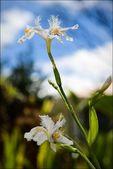 Iris. — Foto Stock