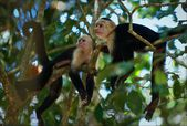 Two Capuchins. — Stock Photo