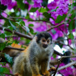 Squirrel monkey. — Stock Photo