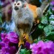 The squirrel monkey and flowers — Stock Photo