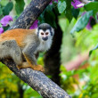 The squirrel monkey. - Stock Photo