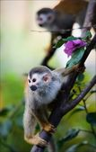 Saimiri - Squirrel monkey. — Stock Photo