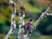 The Sooty Thrush. — Foto Stock