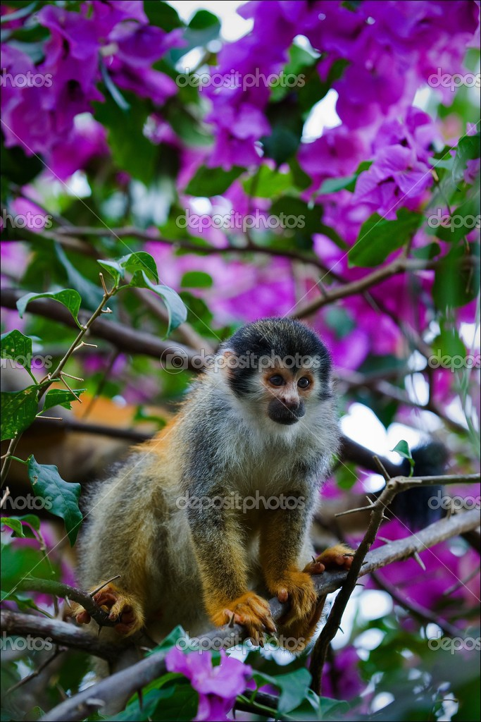 The squirrel monkeys are the New World monkeys of the genus Saimiri. They are the only genus in the subfamily Saimirinae.  Stock Photo #3841553