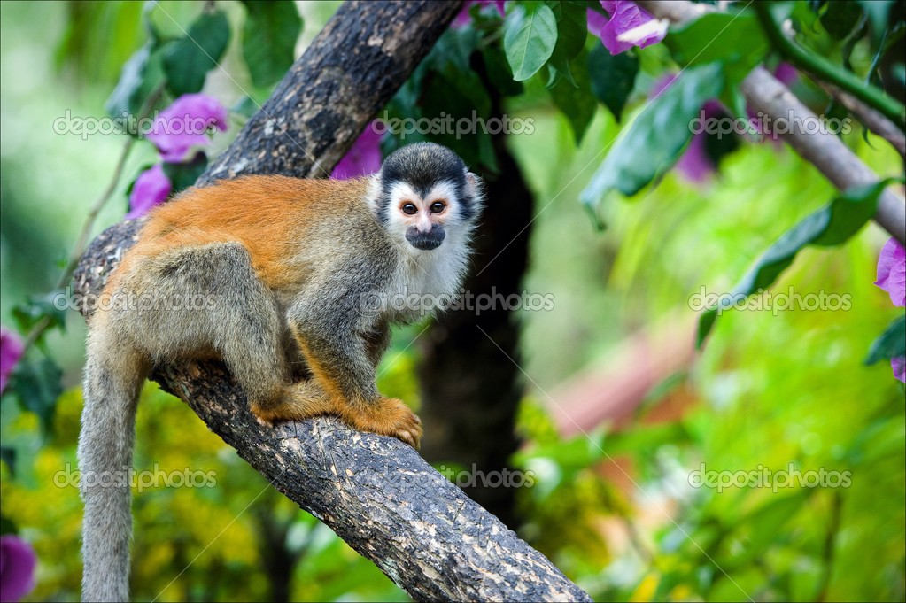 The squirrel monkey. The squirrel monkey saimiri sits on a branch of a tree and poses. — Stock Photo #3841939