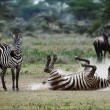 Zebra in a dust. 3 — Stock Photo