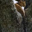 Leopard on a tree. - Stock Photo