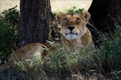 Lioness in an acacia shade — Stock Photo