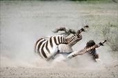 Zebra in a dust. — Stock Photo