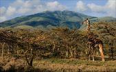 Giraffe in acacias. — Stock Photo