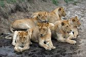 Seis leones. — Foto de Stock