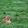 Foto Stock: Lioness on grass.
